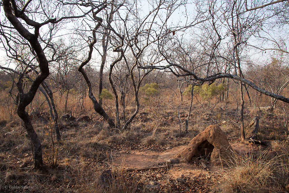 Termite mound with hole from mammal excavation. Nylsvley Reserve, Limpopo Provience, South Africa, August/September 2009, Organization for Tropical Studies Trip.