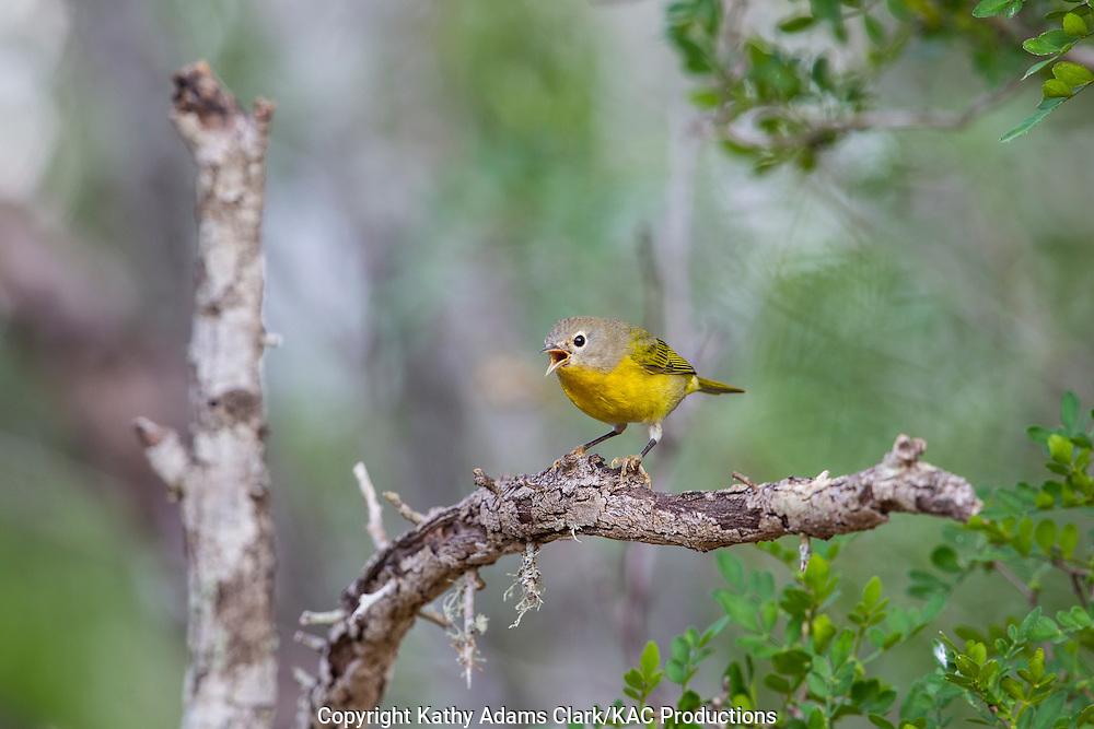 Nashville Warbler, Oreothlypis ruficapella, calling, singing, San Jose Ranch, near Laredo, Texas.