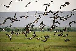A flock of Magpie Geese rise in flight at Parry's Lagoon near Wyndham in the east Kimberley region of Western Australia.