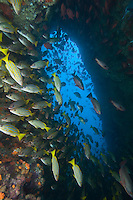 Snappers in an Underwater Archway