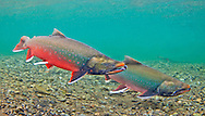 Dolly Varden (spawning pair)<br />