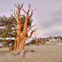 Bristlecone Pine, Pinus longaeva, in the Patriarch Grove of the White Mountain Bristlecone Pine forest.
