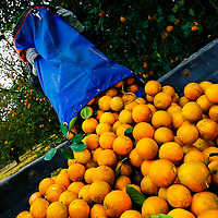 BRADENTON, FL -- January 13, 2009 -- Jose Gallego dumps a 90lbs bag of oranges he plucked from a tree at the SMR Farms orange grove, one of over a hundred groves in Florida where Tropicana gets its oranges for juicing, in Bradenton, Fla., on Tuesday, January 13, 2009.   Pepsico has paired up with Carbon Trust to measure their carbon footprint in the making of Tropicana Pure Premium Orange Juice, a task they are going to apply to their other brands.  (Chip Litherland for The New York Times)