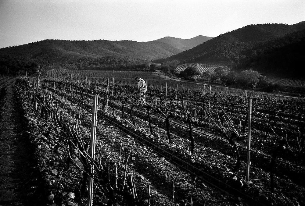 Pruning the vines, La Londe Les Maures, Provence, France.