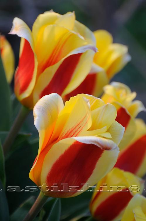 Tulips in spring garden.