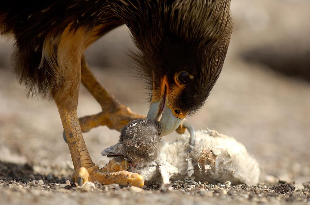 In einer Brutkolonie von Eselspinguinen (Pygoscelis papua) ist ein Falklandkarakara (Phalcoboenus australis) fündig geworden: der Raubvogel erbeutet unter anderem Küken verschiedener Seevogelarten, verschmäht aber auch Aas nicht und hilft so, die Kolonien frei von toten Vögeln zu halten.   In a breeding colony of Gentoo Penguins (Pygoscelis papua) the Striated Caracara (Phalcoboenus australis) has found its meal. The Caracara is a predator and scavenger all the same and by removing the dead chicks, that can be found in every seabird colony, it helps reducing the risk of infections in the colony caused by fouling carcasses.