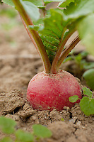 Radish at VanScoy Farms Ridgeview, Ohio.(Jodi Miller)