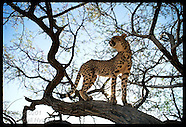 02: CHEETAH IN TREE, NEAR TRAP
