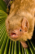 Northern Yellow Bat (Lasiurus intermedius): Mammalia: Chiroptera: Vespertilionidae <br /> TEXAS: Travis Co.<br /> Austin<br /> Barbara French's Bat Rehabilitation Center<br /> 12-Sep-2008<br /> J.C. Abbott