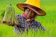 Siri, a Thai woman farmer transplanting rice in Nakhon Nayok, Thailand, Aug 03, 2016. PHOTO BY LEE CRAKER