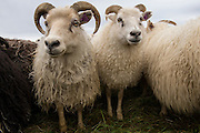 Curious & friendly Icelandic sheep, central Iceland