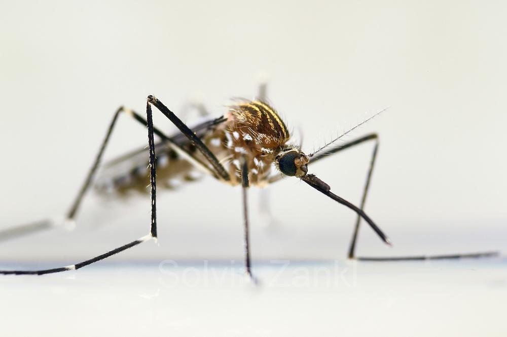 Mosquito (Ochlerotatus japonicus) adult, Invasive Species, Freiburg, Germany | Weibchen der Japanische Buschmücke (Ochlerotatus japonicus) Freiburg, Deutschland