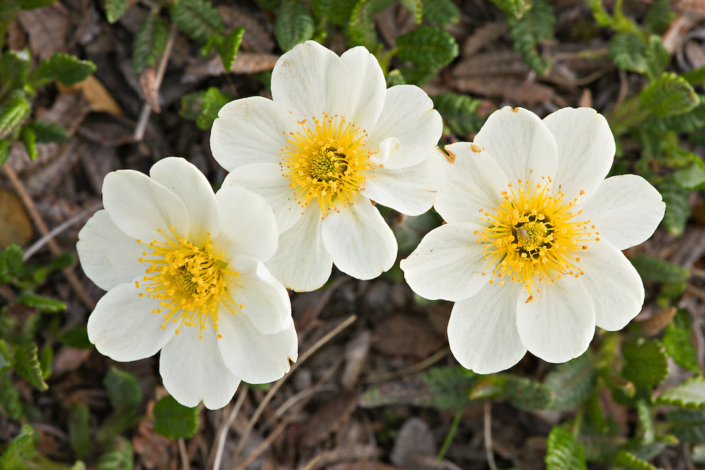 Closeup of Mountain Avens in late spring in south fork of Eagle River Valley in Chugach State Park in Southcentral Alaska. Morning.