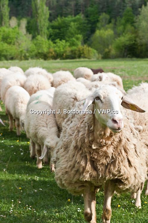 Rebaño de ganado ovino, raza Assaf, prolífica y gran productora de leche para queso. Ansó Huesca
