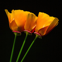 Shoot/Week 13: California Poppies