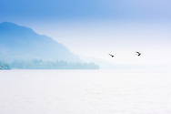 Geese in flight over Ullswater, Cumbria on a misty May afternoon.