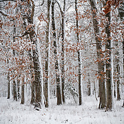 Southwest Missouri forest during an early spring snow.