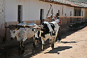 Campesino man with oxen and plow in Postrervalle, Santa Cruz, Bolivia