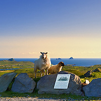 Highest Point on Valentia Island Geokaun Mountain Viewing point Platform with sheep, overlooking Portmagee, The Skellig Islands, Bray Head Tower / vl098 I love the Skelligs, ****** <br />