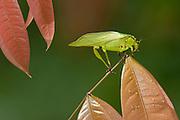 Katydid grooming<br /> (Tetigoniidae)<br /> Iwokrama Reserve<br /> GUYANA. South America