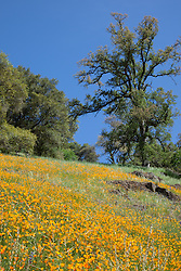 """""""California Poppies 9"""" - These wild California Poppy flowers were photographed near Windy Pt. along the North Fork American River."""
