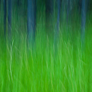 Lodgepole pine and grass abstract, Stanley, Idaho