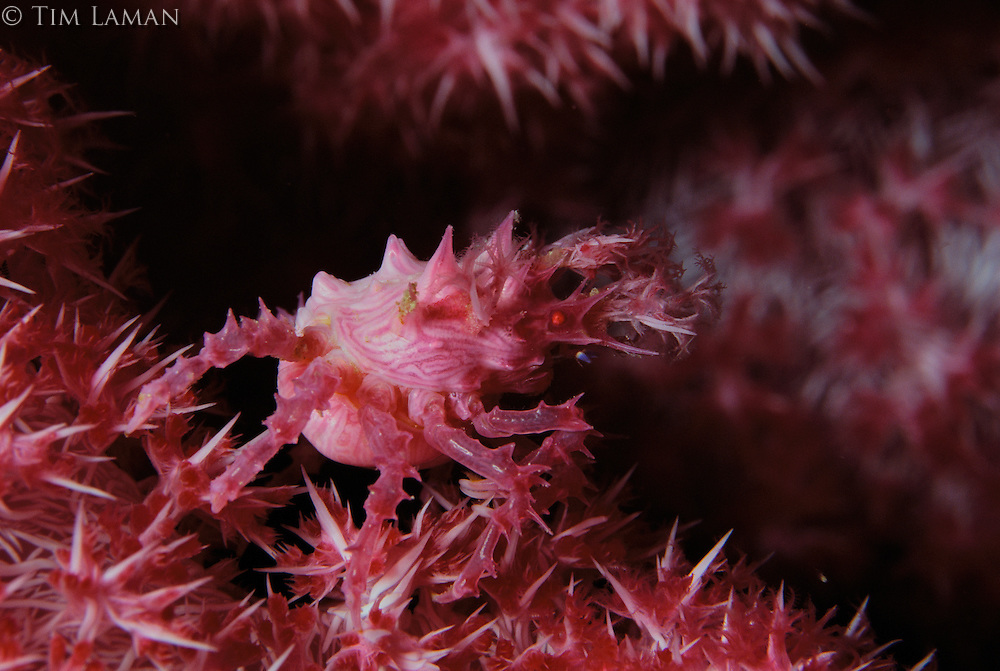 A camouflaged candy crab, Hoplophyrs oatesii, on a soft coral.