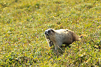 While hiking to Lake Helen and Cirque Peak in Banff National Park we came across dozens of these interesting critters.  They are very large ground squirrels that are not even remotely shy. We were able to approach very closely before they even bothered to look up.  they are very fat, and very cute!..©2010, Sean Phillips.http://www.RiverwoodPhotography.com