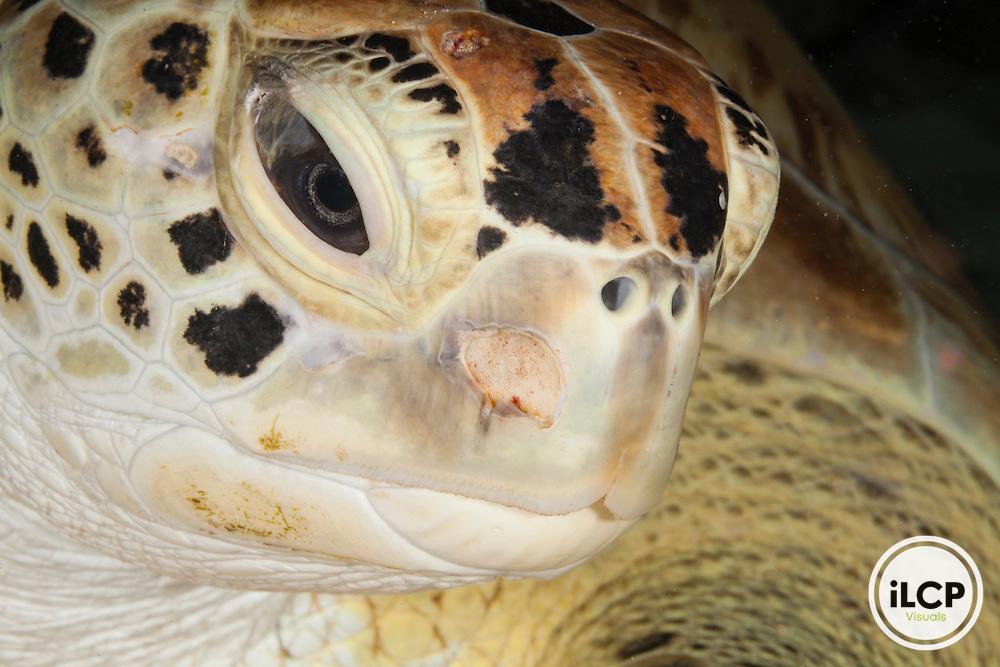 Endangered green sea turtle (Chelonia mydas), Bahamas, Caribbean.