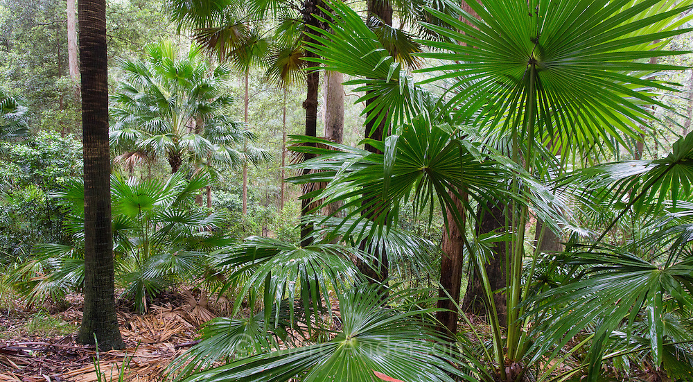 Cabbage-tree Palms, (Livistona australis) in wet eucalypt forest, Royal National Park, NSW, Australia