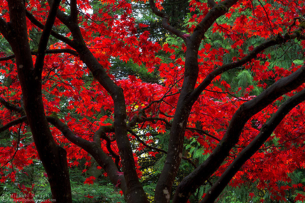 Fall colours of a Japanese Maple in Williams Park, Langley, British Columbia, Canada