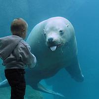 Woody the sealion with young boy, Alaska Sealife Center, Seward