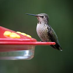 An adult female Anna's hummingbird, Calypte anna, perched at a backyard feeder