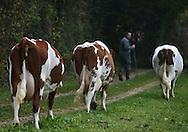 14/10/15 - REUGNEY - DOUBS - FRANCE - GAEC de la Croix Grandjacquet. Elevage de Montbeliardes de Vincent Grandjacquet - Photo Jerome CHABANNE