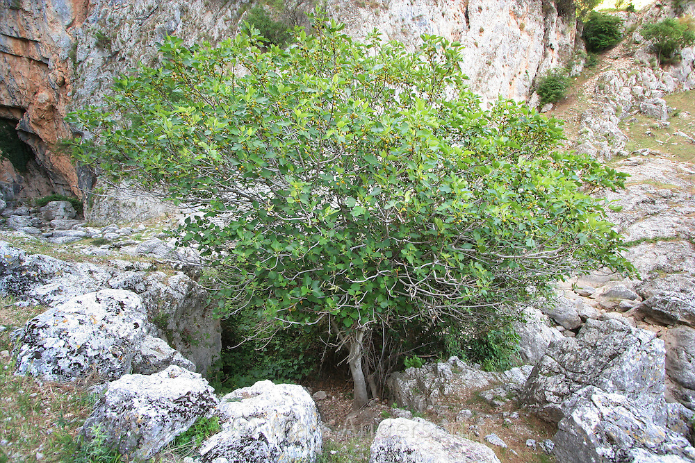 Common Fig tree, (Ficus carica) Andalucia, Spain.