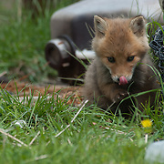 Red fox cub licking its lips after eating some food by the coast in Hokkaido, Japan.