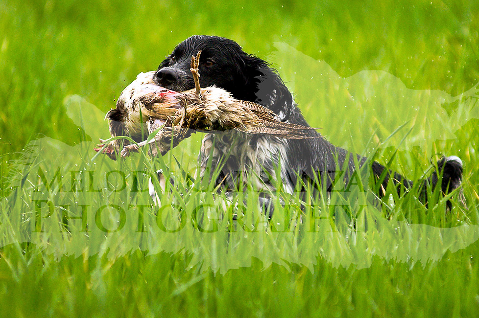 Training Spaniels to Hunt Spaniel Hunt Test