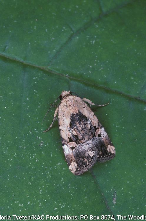 Festive Midget Moth,.Elaphria festivoides