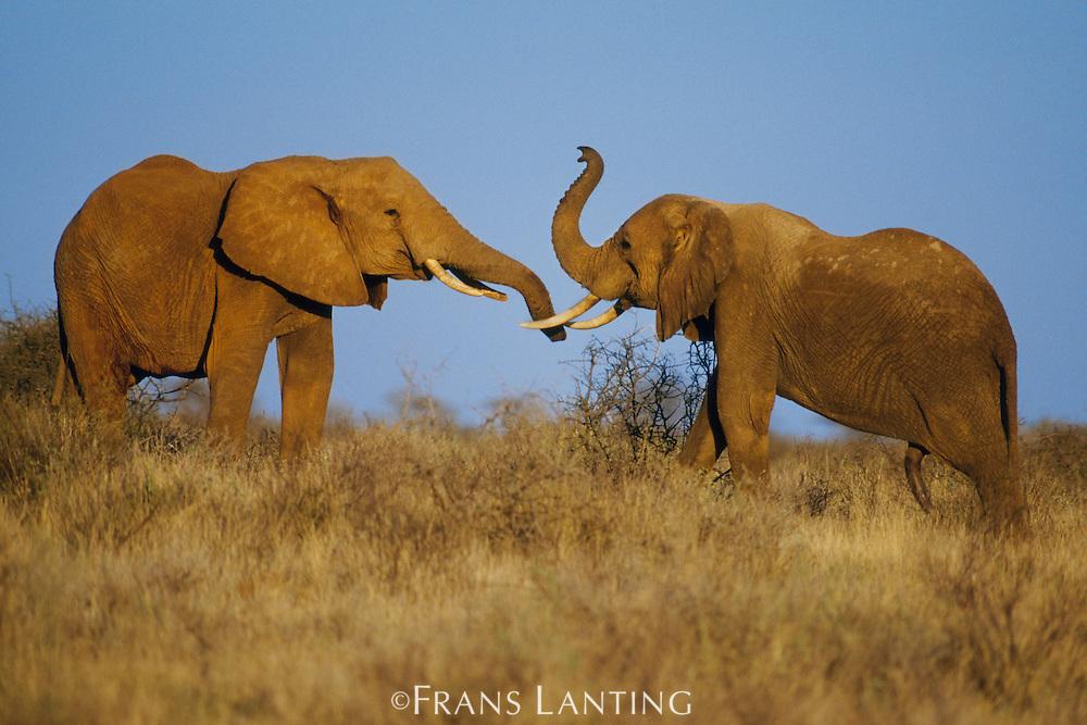 African elephants sparring, Loxodonta africana, Masai Mara Reserve, Keyna