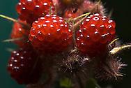 Wine Berry