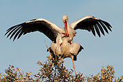 White Storks (Ciconia ciconia) <br /> Wetland Reserve<br /> Do&ntilde;ana National &amp; Natural Park. Huelva Province, Andalusia. SPAIN<br /> 1969 - Set up as a National Park<br /> 1981 - Biosphere Reserve<br /> 1982 - Wetland of International Importance, Ramsar<br /> 1985 - Special Protection Area for Birds<br /> 1994 - World Heritage Site, UNESCO.<br /> The marshlands in particular are a very important area for the migration, breeding and wintering of European and African birds. It is also an area of old cultures, traditions and human uses - most of which are still in existance.<br /> RANGE: Breeds in Warmer Europe, nw Africa and sw Asia e to southern Kazakhstan) Migrates in winter to tropical Africa down to South Africa &amp; Indian subcontinent.<br /> They breed in open farmland areas with access to marshy wetlands. Nests made of sticks in trees, power pillons and buildings as it is not persecuted as it is seen as a good luck bird. However they are killed during their migration. They feed on fish, frogs, insects but also on small rodents and reptiles.<br /> <br /> Mission: Iberian Lynx, May 2009<br /> &copy; Pete Oxford / Wild Wonders of Europe<br /> Zaldumbide #506 y Toledo<br /> La Floresta, Quito. ECUADOR<br /> South America<br /> Tel: 593-2-2226958<br /> e-mail: pete@peteoxford.com<br /> www.peteoxford.com