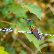 Berylline Hummingbird <br /> Amazilia beryllina<br /> Cerro de San Juan, Tepic, Nayarit, Mexico<br /> 6 June     Adult       Trochilidae