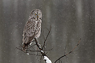A great grey owl scans for prey during an early spring snowstorm. The owl continued his search for over 30 minutes but was unsuccessful. He finally flew off to another meadow in the thick pines where he was lost from view.