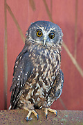 """Morpy"" is a morepork rescued from multiple injuries sustained by a collision with a moving car.  The morepork's distinctive call, ""morepork"" is a territorial call heard at night in New Zealand."
