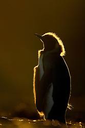 Wie im Märchen vom häßlichen Entlein beginnt auch das Leben des majestätischen Königspinguins (Aptenodytes patagonicus) in einem recht unansehnlichen Federkleid, aber noch während der ersten Mauser läßt sich die spätere Schönheit schon erahnen. | As in the fairy tale of the ugly duckling the life of the majestic King penguin (Aptenodytes patagonicus) begins in a rather shabby feather coat, but already with the first molt the beauty begins to show.