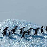 Antarctica, Adelie Penguins (Pygoscelis adeliae) and Gentoo Penguin (Pygoscelis papua) walking across top of iceberg