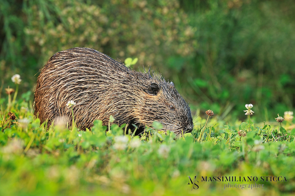The coypu (from the Mapudungun, koypu), (Myocastor coypus), also known as the river rat, and nutria, is a large, herbivorous, semiaquatic rodent and the only member of the family Myocastoridae. Originally native to subtropical and temperate South America, it has since been introduced to North America, Europe, Asia, and Africa, primarily by fur ranchers. Although it is still valued for its fur in some regions, its destructive feeding and burrowing behaviors make this invasive species a pest throughout most of its range.<br />