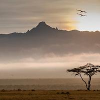 Crowned Cranes at sunrise above Mount Kenya in Laikipia, Kenya