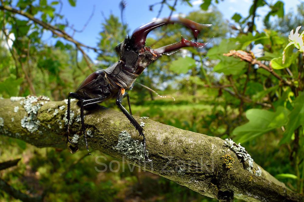 Sequence 1/6) - This stag beetle (Lucanus cervus) is living on oak trees. Biosphere Reserve 'Niedersächsische Elbtalaue' (Lower Saxonian Elbe Valley), Germany   Serie (1/6) - Hirschkäfer-Männchen (Lucanus cervus) in einer alten Eiche, Elbtalauen, Deutschland