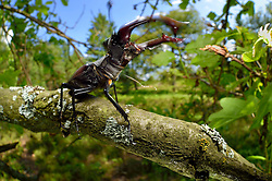 Sequence 1/6) - This stag beetle (Lucanus cervus) is living on oak trees. Biosphere Reserve 'Niedersächsische Elbtalaue' (Lower Saxonian Elbe Valley), Germany | Serie (1/6) - Hirschkäfer-Männchen (Lucanus cervus) in einer alten Eiche, Elbtalauen, Deutschland